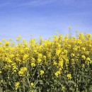 Could GM creep into organic food chain?